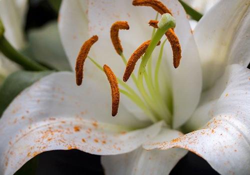 ユリの花粉