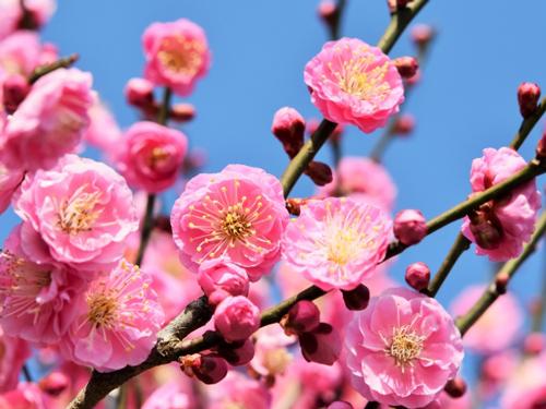 お正月の花・梅