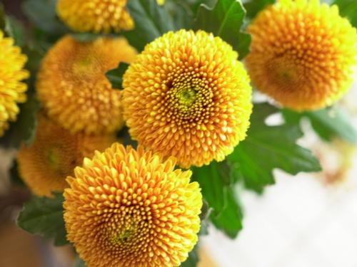 お正月の花・菊