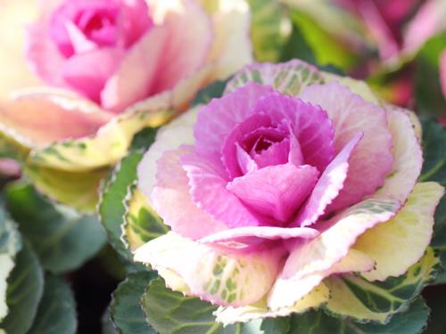 お正月の花・葉牡丹
