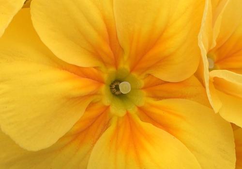 異形花柱花