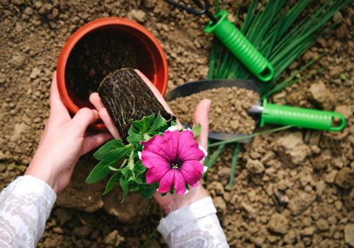 苗を植え付ける