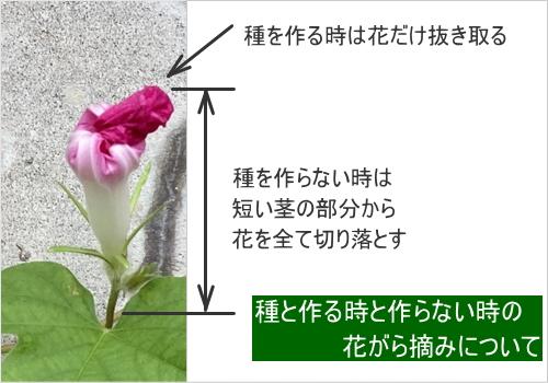 朝顔の花がら摘み