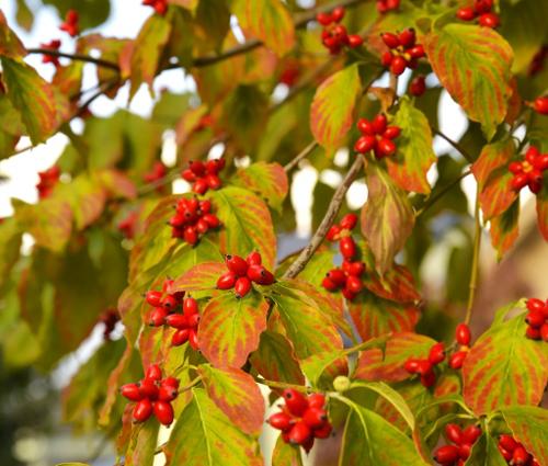 秋のハナミズキ