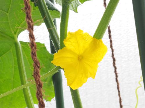 きゅうりの雄花
