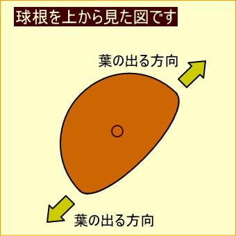 チューリップの球根の図