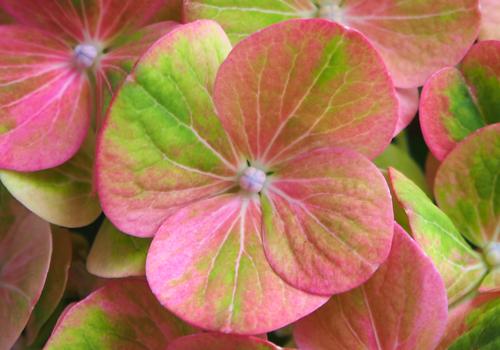 アジサイ中性花蕾