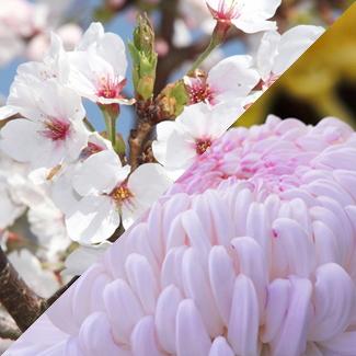 日本の花・国花