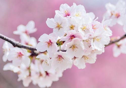 桜(散る)