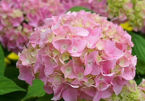 紫陽花(しがみつく)
