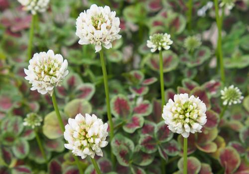 ハルディン・クローバー ティントの花