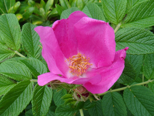 北海道の花・ハマナス