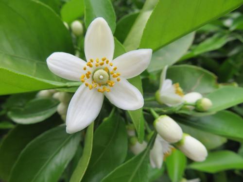 愛媛県の花・みかんの花