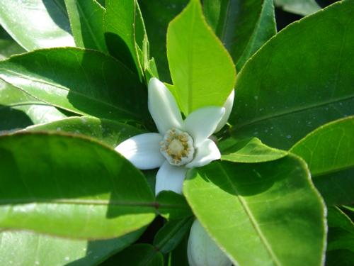 徳島県の花・すだちの花