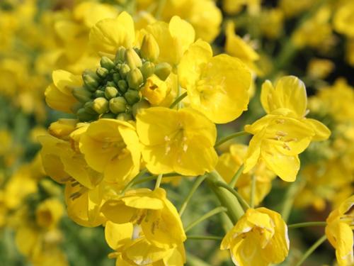 千葉県の花・菜の花