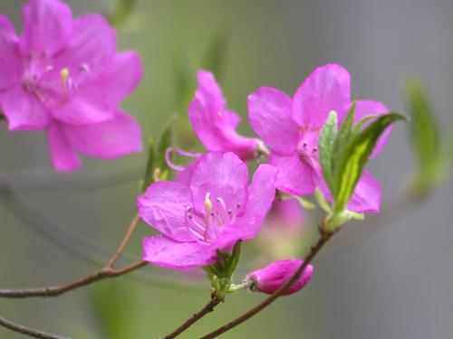 栃木県の花・ヤシオツツジ