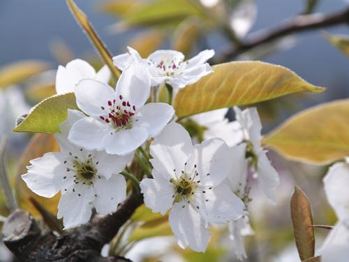 鳥取県の花・二十世紀梨