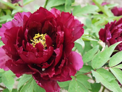 島根県の花・牡丹