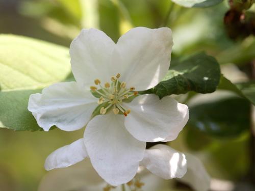 青森県の花・りんごの花