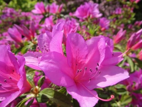 静岡県の花・ツツジ