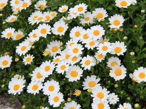兵庫県の花・ノジギク