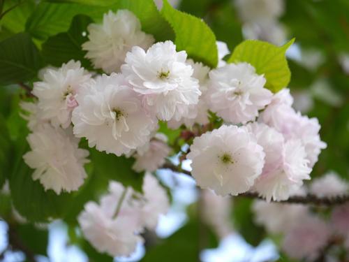 奈良県の花・奈良八重桜