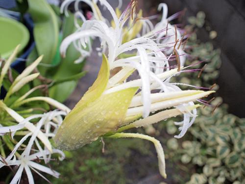 宮崎県の花・はまゆう