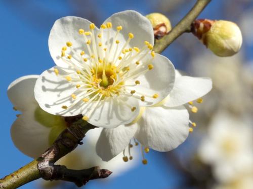 大阪府の花・梅