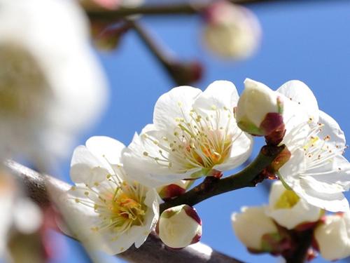 和歌山県の花・梅