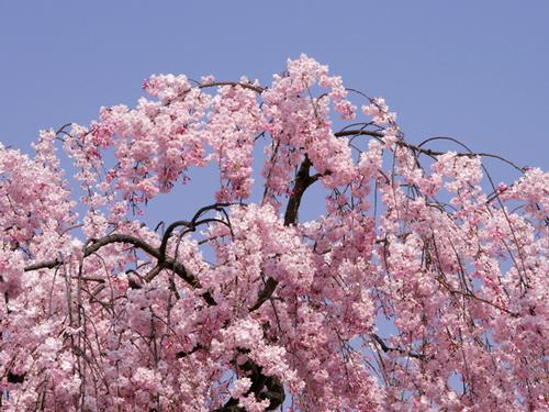 京都府の花・しだれ桜