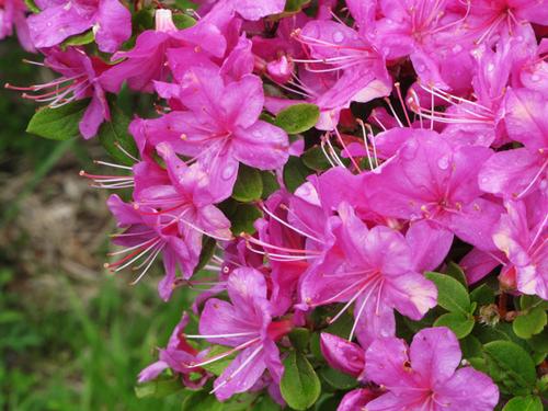 鹿児島県の花・ミヤマキリシマ