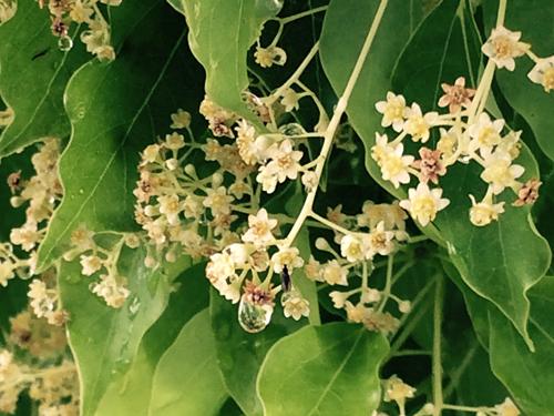 佐賀県の花・クスの花