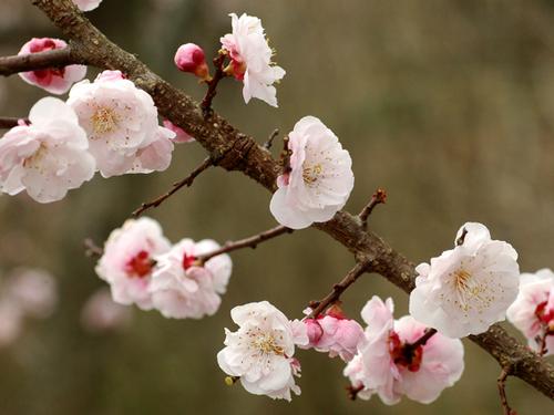 大分県の花・豊後梅