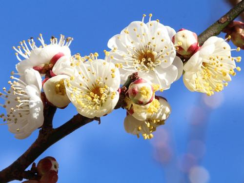 福岡県の花・梅