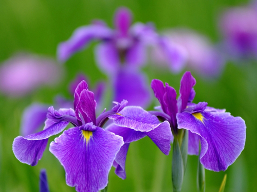 三重県の花・花菖蒲