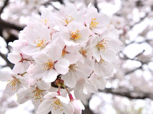 東京都の花・ソメイヨシノ