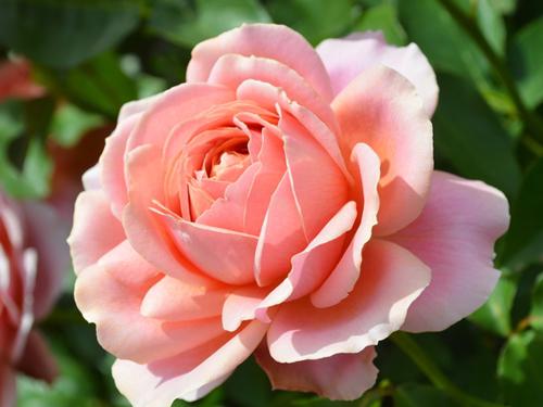 茨城県の花・バラ