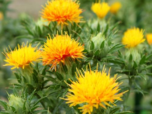 山形県の花・ベニバナ
