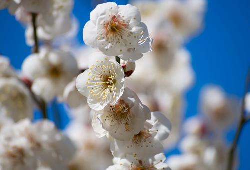 天満駅のシンボルフラワーは梅の花