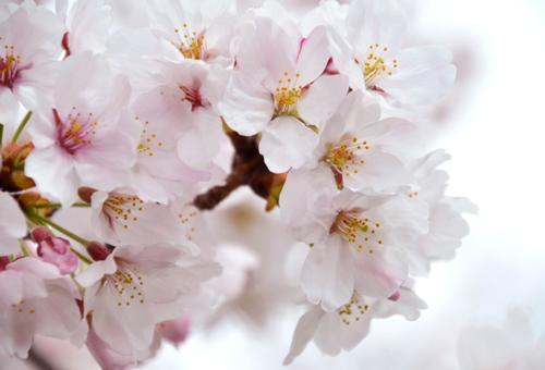 桜ノ宮駅のシンボルフラワーは桜