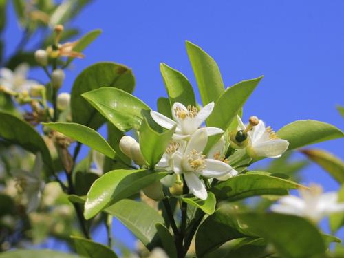 山口県の花・夏みかんの花