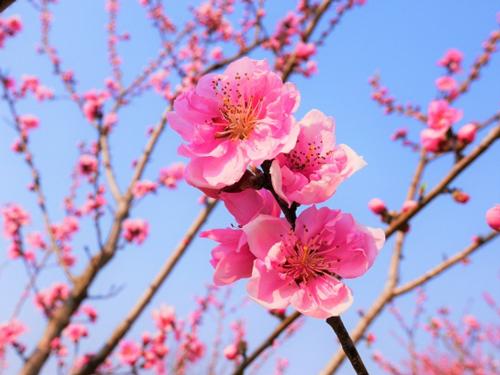 岡山県の花・桃